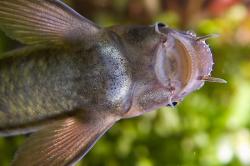 Рыбка Гарра руфа