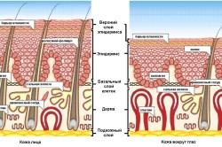 Схема строения кожи